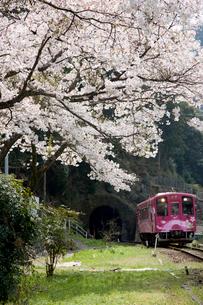 桜と錦川鉄道の列車の写真素材 [FYI03379604]