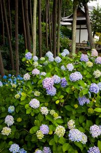 あじさい咲く長慶寺の写真素材 [FYI03379661]
