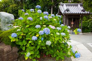 あじさい咲く長慶寺の写真素材 [FYI03379665]