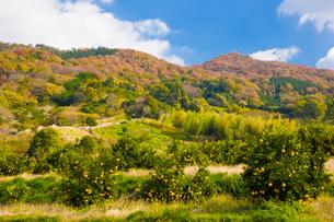 巻向山を背にみかんが実る山の辺の道の写真素材 [FYI03379679]