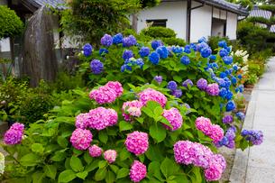 あじさい咲く長慶寺の写真素材 [FYI03379682]