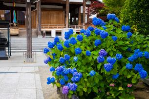 あじさい咲く長慶寺の写真素材 [FYI03379685]