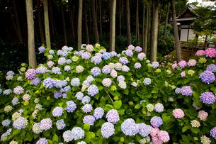 あじさい咲く長慶寺の写真素材 [FYI03379686]