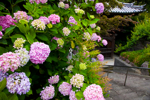 あじさい咲く長慶寺の写真素材 [FYI03379687]