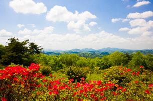 神野山々頂に咲く山つつじの写真素材 [FYI03379738]