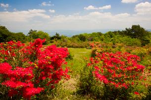 神野山々頂に咲く山つつじの写真素材 [FYI03379745]