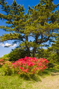 神野山々頂に咲く山つつじの写真素材 [FYI03379752]
