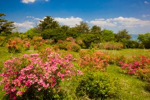 神野山々頂に咲く山つつじの写真素材 [FYI03379761]