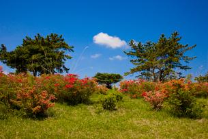 神野山々頂に咲く山つつじの写真素材 [FYI03379764]
