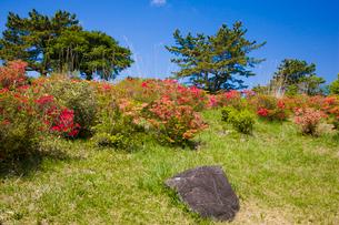 神野山々頂に咲く山つつじの写真素材 [FYI03379765]