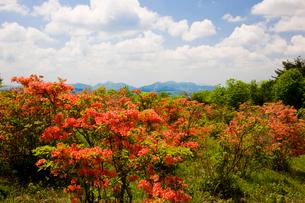 神野山々頂に咲く山つつじの写真素材 [FYI03379769]