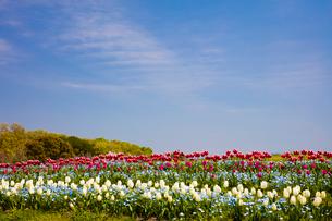 チュ-リップが彩る馬見丘陵公園の写真素材 [FYI03379826]