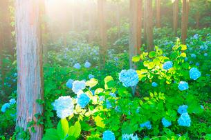 武石あじさい公園のアジサイと朝日の木もれ日の写真素材 [FYI03380188]