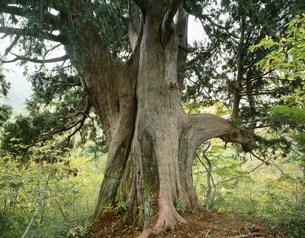 クロベの巨樹 上倉山の写真素材 [FYI03380964]