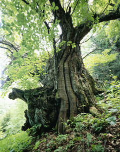 市野々の大栗 樹齢650年の写真素材 [FYI03380983]