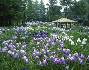 染谷花しょうぶ園の写真素材 [FYI03380997]