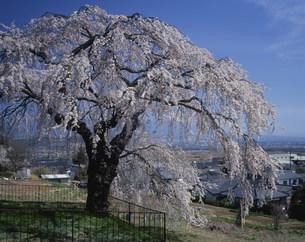 関所破りの桜の写真素材 [FYI03381014]