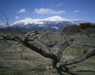庄内柿の木と鳥海山の写真素材 [FYI03381018]