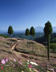 小国コスモス村と小国杉の写真素材 [FYI03381030]
