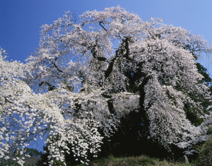 大蔵寺参道の枝垂桜の写真素材 [FYI03381031]