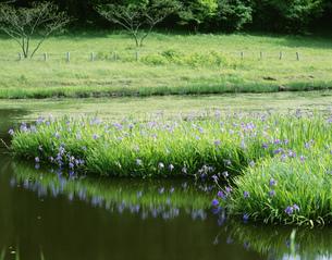 カキツバタ咲く姫逃池の写真素材 [FYI03381041]