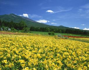錦玉園のヘメロカリス畑と浅間山の写真素材 [FYI03381043]