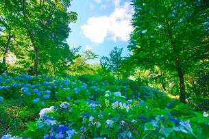 箱山城のあじさい園と樹間のわた雲の写真素材 [FYI03381537]