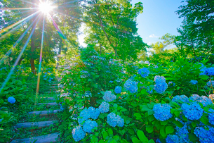 箱山城のあじさい園と遊歩道と木もれ日の写真素材 [FYI03381808]
