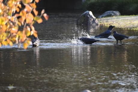 カラスの行水の写真素材 [FYI03382310]