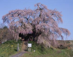 不動桜の写真素材 [FYI03382359]