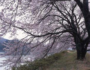 上繁岡溜池の桜の写真素材 [FYI03382360]
