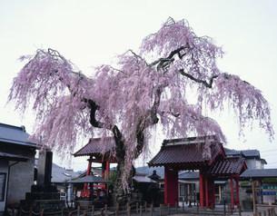 乙女桜 妙関寺の写真素材 [FYI03382362]
