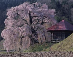不動桜の写真素材 [FYI03382364]