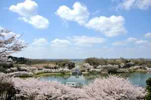 桜咲くつくしこの写真素材 [FYI03382371]