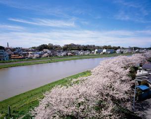 桜川堤の桜並木の写真素材 [FYI03382372]