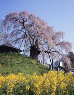 不動桜の写真素材 [FYI03382376]