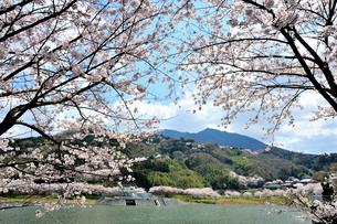 筑波山と桜とつくしこの写真素材 [FYI03382378]