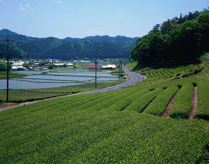 奥久慈茶畑の写真素材 [FYI03382382]