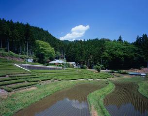 奥久慈茶畑の写真素材 [FYI03382384]