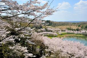 桜咲くつくしこの写真素材 [FYI03382386]