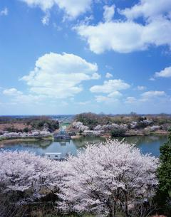 つくしこの桜の写真素材 [FYI03382388]