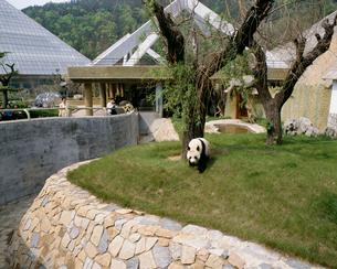 大連森林動物園のパンダの写真素材 [FYI03383058]