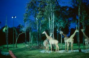 シンガポール動物園 ナイトサファリの写真素材 [FYI03383285]