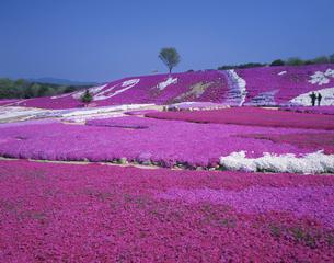 芝桜の花夢の里の写真素材 [FYI03383486]