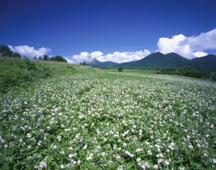 蒜山高原のワルナスビの花の写真素材 [FYI03383500]
