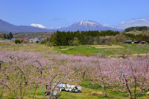 桃畑の遠足の写真素材 [FYI03383691]