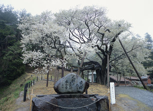 国天然記念物の大平桜の写真素材 [FYI03383902]