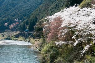 錦川清流線 南桑駅付近の桜と清流の写真素材 [FYI03383931]