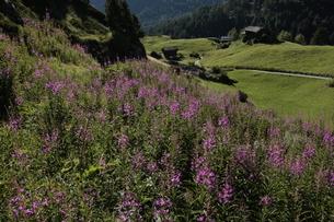 ヤナギラン フーリ~ツェルマットのハイキングコースの写真素材 [FYI03384005]