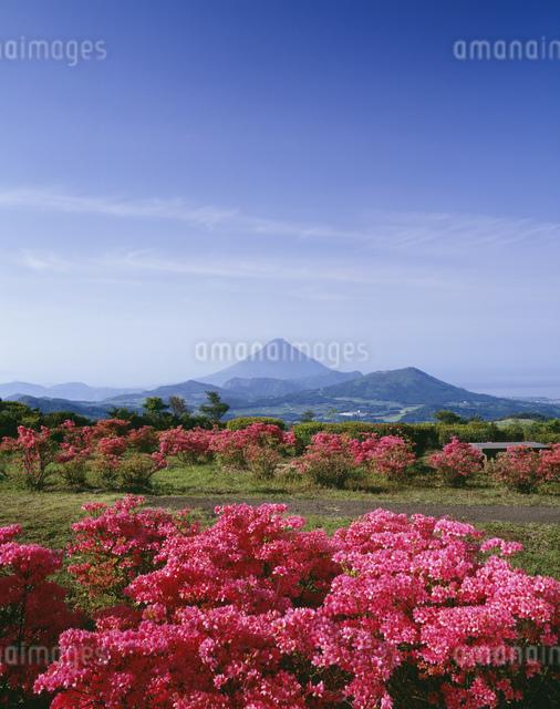 千貫平のツツジと開聞岳の写真素材 [FYI03384048]
